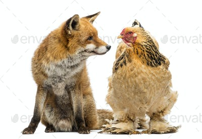 Red fox, Vulpes vulpes, sitting next to a Hen, looking at each other, isolated on white