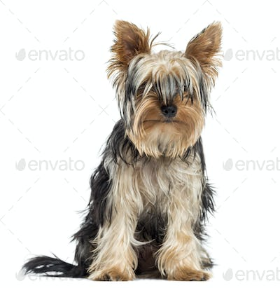 Blind Yorkshire sitting, facing, isolated on white