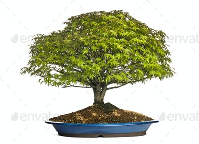 Maple bonsai tree, isolated on white
