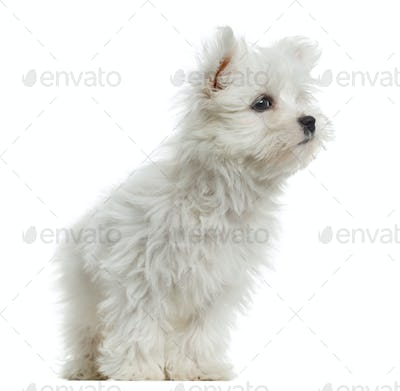 Maltese puppy, 2 months old, isolated on white