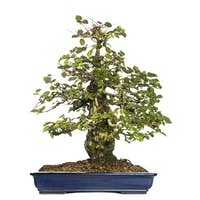 Hornbeams bonsai tree, Carpinus, isolated on white