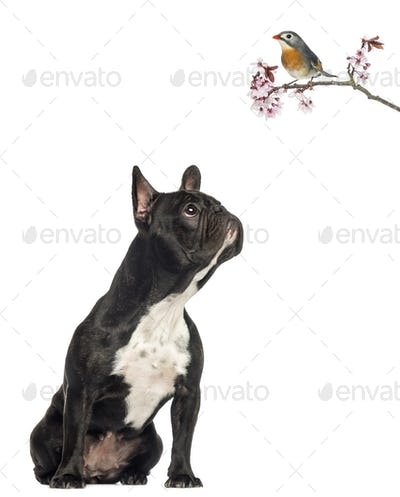 French Bulldog sitting, looking up a red-billed Leiothrix on a blossoming branch, isolated on white