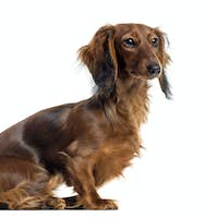 Side view of a Dachshund sitting, isolated on white