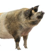 Domestic pig standing and looking up, isolated on white