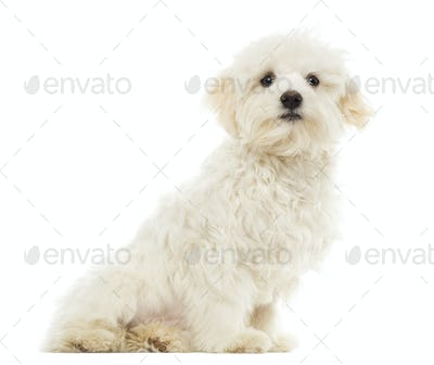 Maltese puppy sitting, 7 months old, isolated on white