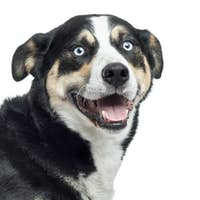 Close up of a Bernese Mountain Dog panting, isolated on white