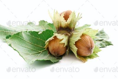 branch of hazelnuts