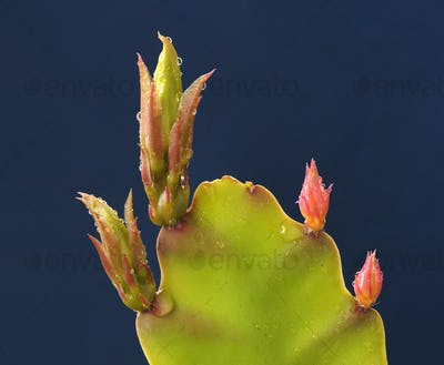Red and Green Buds of a Succulent Plant