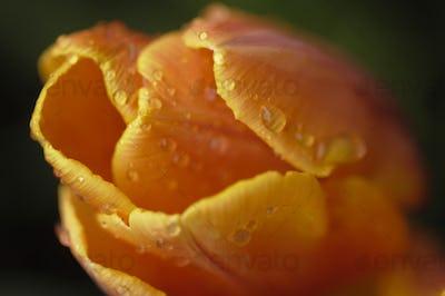 Orange and Yellow Tulip