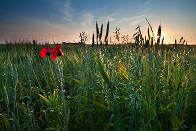 poppy flowers and oat on field