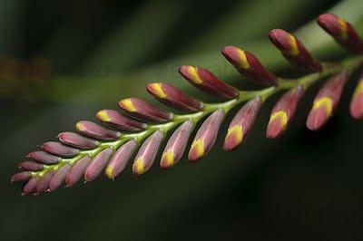 Spike of Flower Buds