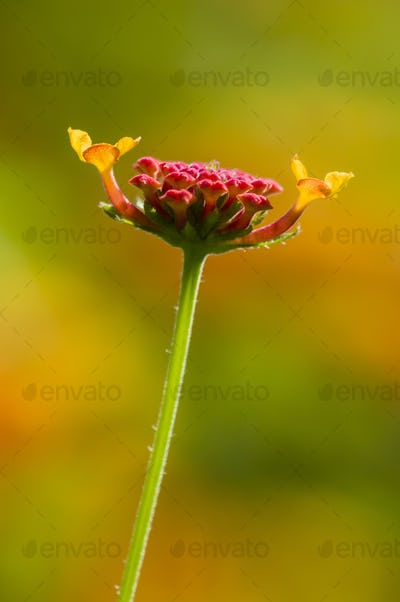 Detail of red Lantana flower buds