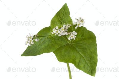 White flowering buckwheat