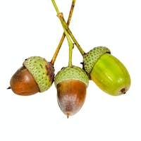 few oak acorns