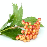Viburnum branch with berries