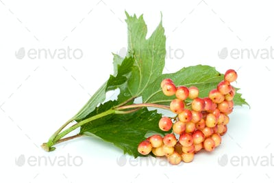 Viburnum branch with berries