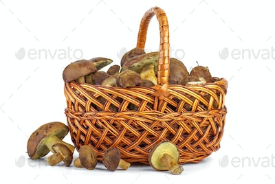 Wicker basket with yellow boletus mushrooms near.