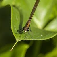 Female Calopterix damselfly