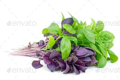 Fresh green and purple sweet basil bunches