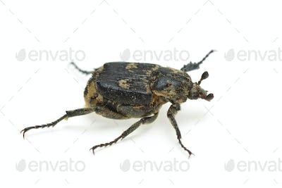 Checkered beetle (Valgus hemipterus)