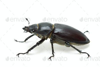 Crawling  female stag beetle (Lucanus cervus)