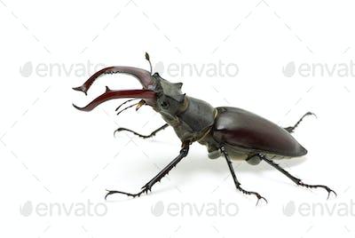 Crawling  male stag beetle (Lucanus cervus)