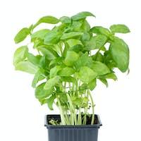 Green basil growing in the flowerpot