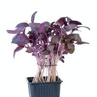 Purple basil growing in the flowerpot