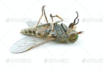 Dead gadfly