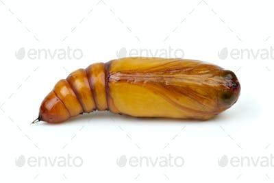 Brown chrysalis close-up