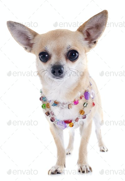 chihuahua and collar