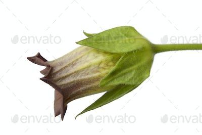 Belladonna flower