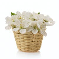 cherry blossom on white