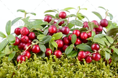 Red cowberry