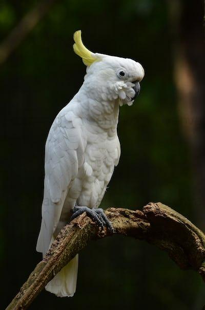 Yellow lesser sulphur-crested cockatoo