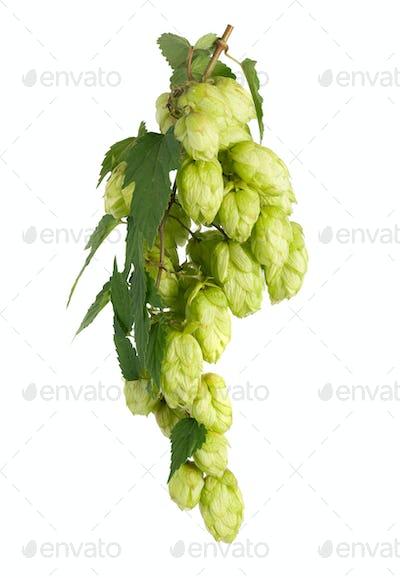 Branch of hop