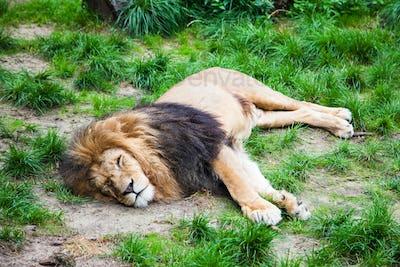 Sleeping Lion.