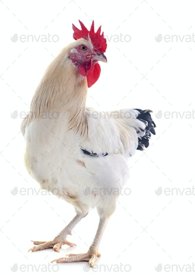 young sussex rooster