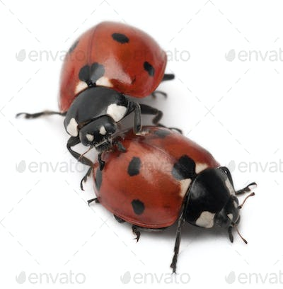 Seven-spot ladybirds, Coccinella septempunctata, in front of white background