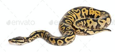 Female Pastel calico Python