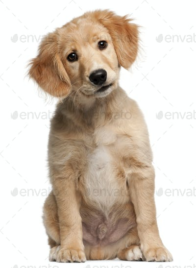 Mixed-breed puppy, 12 weeks old, sitting in front of white background