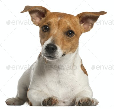 Jack Russell Terrier, 10 months old, lying in front of white background