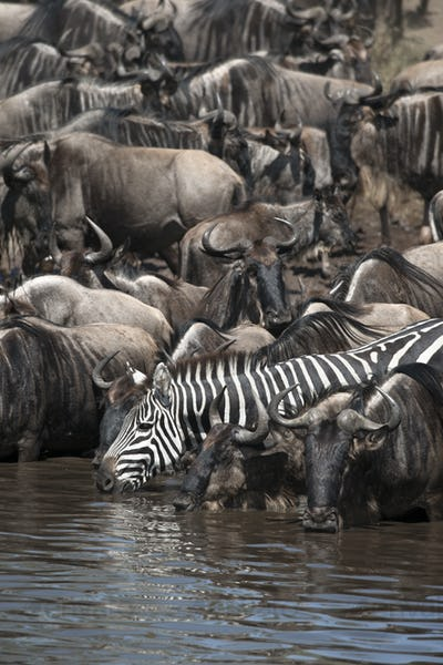 Wildebeest and Zebras at the Serengeti National Park, Tanzania, Africa