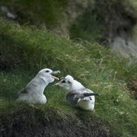 Seagulls on Mykines, Faroe Islands