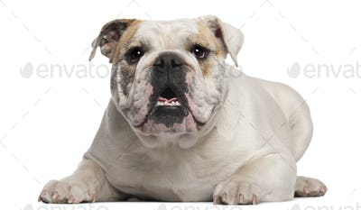 English Bulldog, 8 months old, lying in front of white background