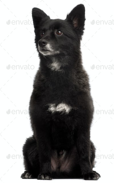 German Spitz, 5 years old, sitting in front of white background