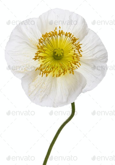 Close-up of White Alpine poppy, Papaver alpinum, in front of white background