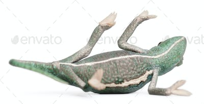 Young veiled chameleon lying on his back, Chamaeleo calyptratus, in front of white background