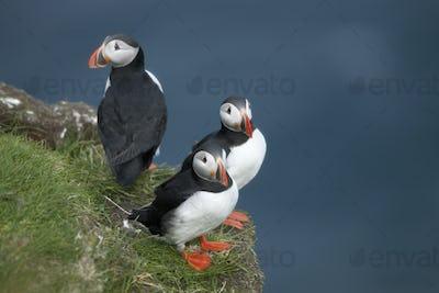 Atlantic Puffin or Common Puffin, Fratercula arctica, on Mykines, Faroe Islands