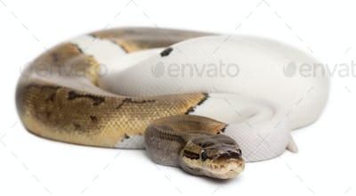 Female Pinstripe Pied Royal python